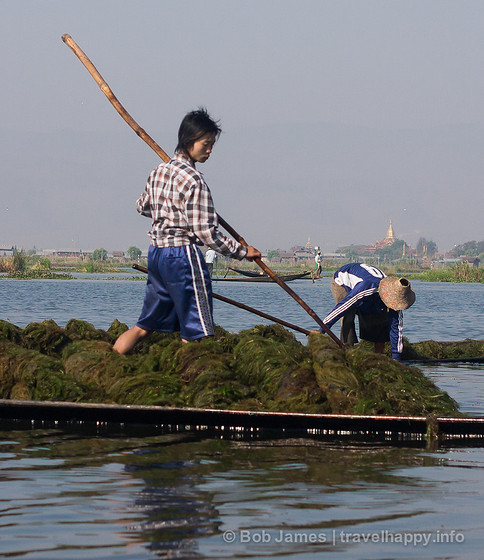 Seaweed farmers scoop up weeds and plants growing below the surface of Inle Lake near Nyaungshwe
