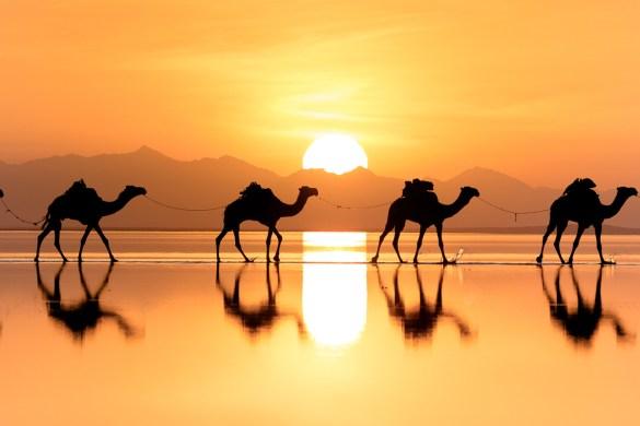 Ethiopia Desert Camels