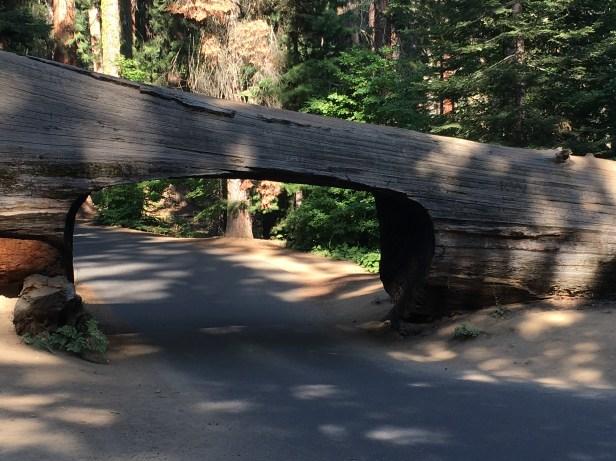 Kings Canyon, King Canyon, Wald, Riesenbaum, Riesenbäume, Mammutbäume, Riesenmammutbäume, Sequoia, Redwood, Sequoia Nationalpark, Sequoia und Kings Canyon Nationalpark, Nationalpark, USA, Amerika, Kalifornien, Wälder, Wandern, Wanderung, Touristenattraktion, Sehenswürdigkeit, Ausflug, Ausflugsziel, Wochenendtrip, Moro Rock, Bergsteigen, klettern, Sierra Nevada, Tunnel Log, Tunnel, Baum, befahrbar, durchfahrbar, durchfahrt, Drive-thru-tree