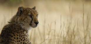 Tarangire NP, or the one with the Cheetahs