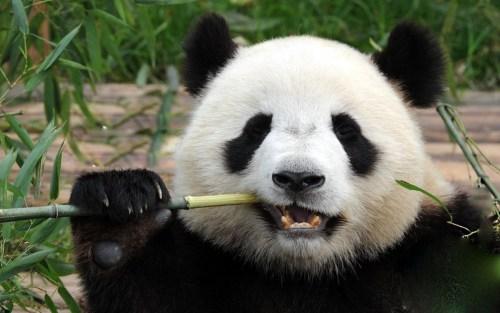 """Képtalálat a következőre: """"panda chengdu"""""""