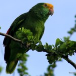 Yellow Head Parrot