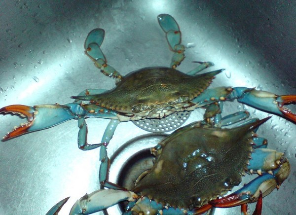 Chesapeake Bay Blue Crabs - photo by Xin Mei CC-BY-2.0