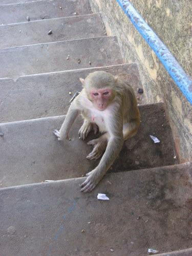 Monkey on the steps, Mount Popa, Myanmar