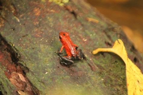 Blue Jean Poison Dart Frog; Tortuguero, Costa Rica; 2013