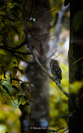 Asian Barred Owl II