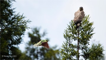 Common Green Magpie Vs CSE
