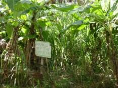 Callwood Rum Distillery Sugar Cane