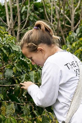 Picking coffee ripe coffee cherries.