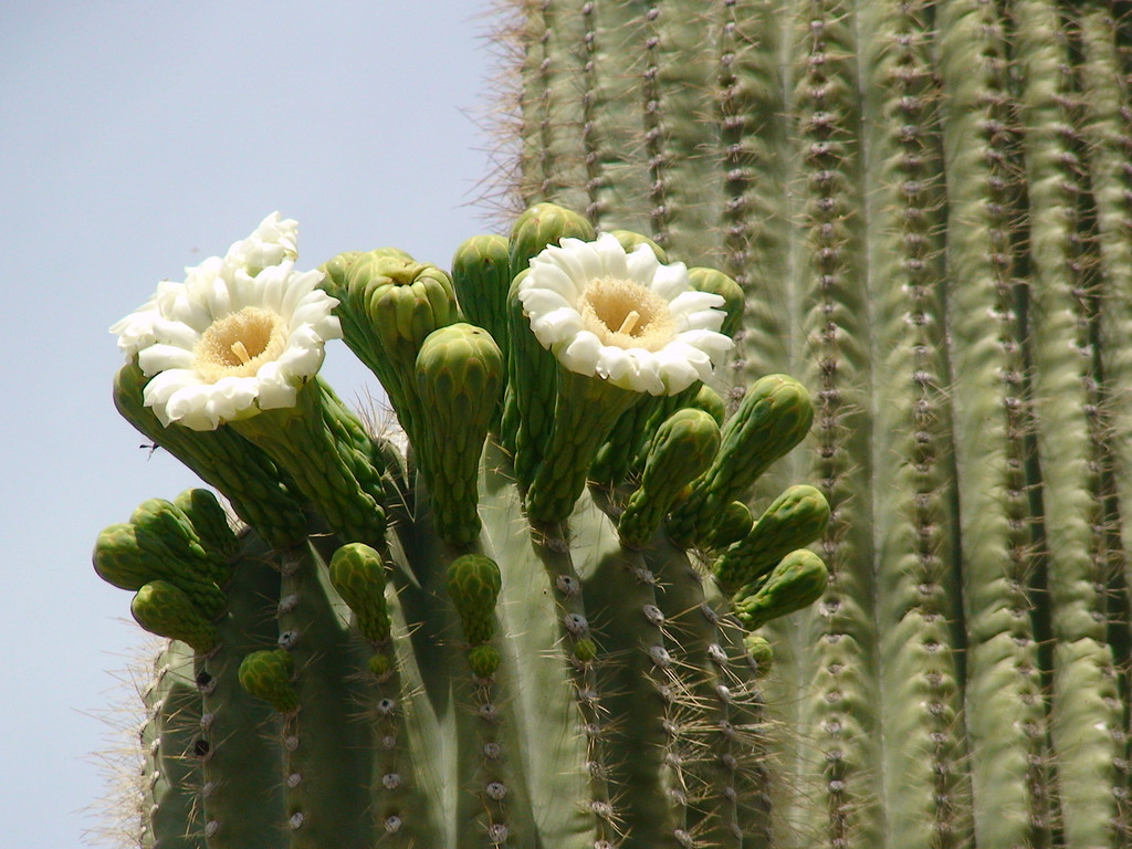Saguaro in Bloom - Phoenix, Arizona