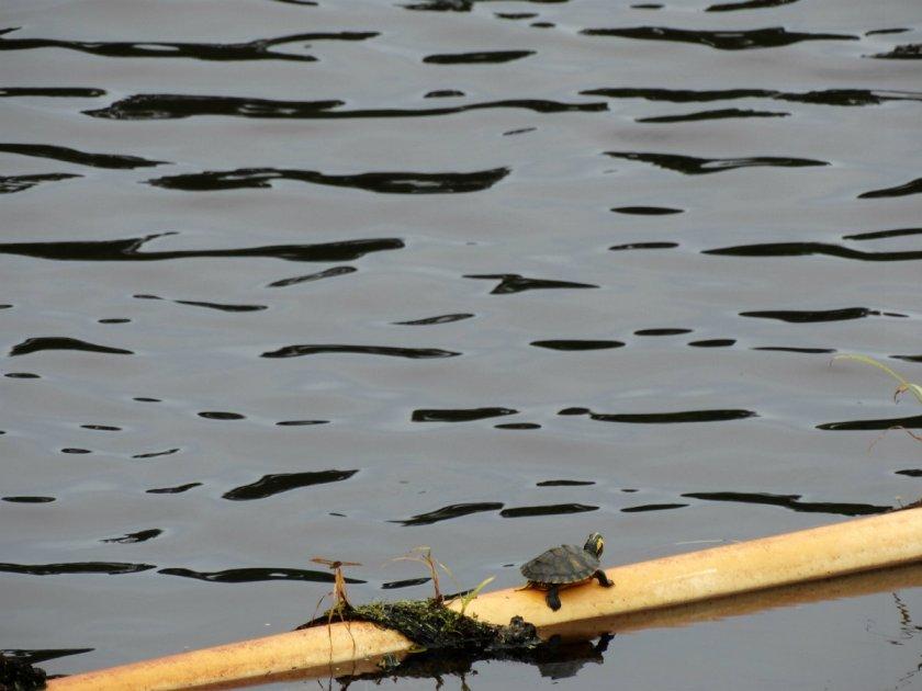 Neben diesen niedlichen Gefährten, schwimmen in diesen Gewässern aber auch Alligatoren...