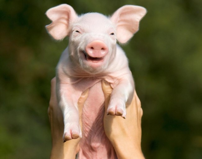 Cute Baby Pig Wallpaper Smiling Animals That Ll Brighten Your Day Travels And Living