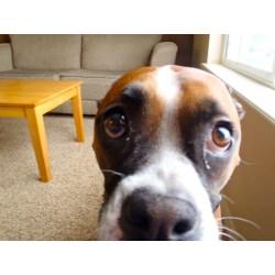Small Crop Of Dog Eye Boogers