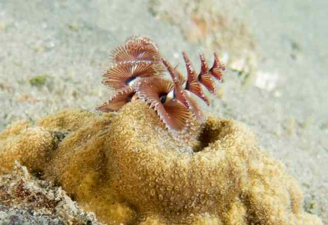 Feather Duster Worm Baby Fab Photos Friday: Und...