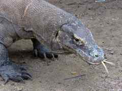 Why I Didn't Get Eaten by a Komodo Dragon