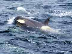 Day 6 in Antarctica and Incredible Sightings of Orcas!