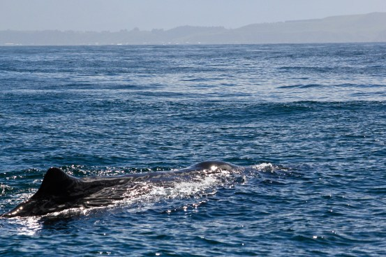 sperm whale swimming 4