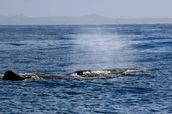 sperm whale swimming 7