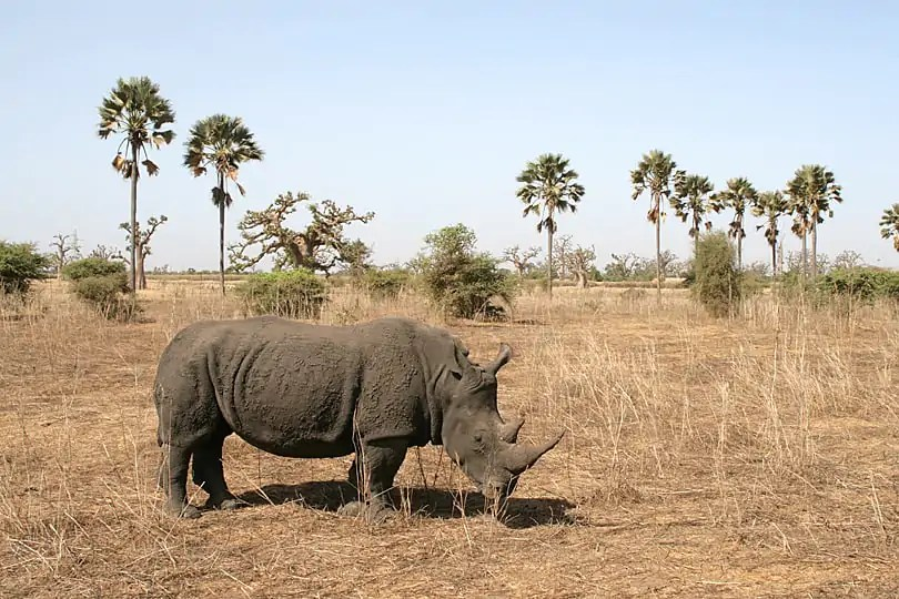 Rhino in Bandia Nature Reserve