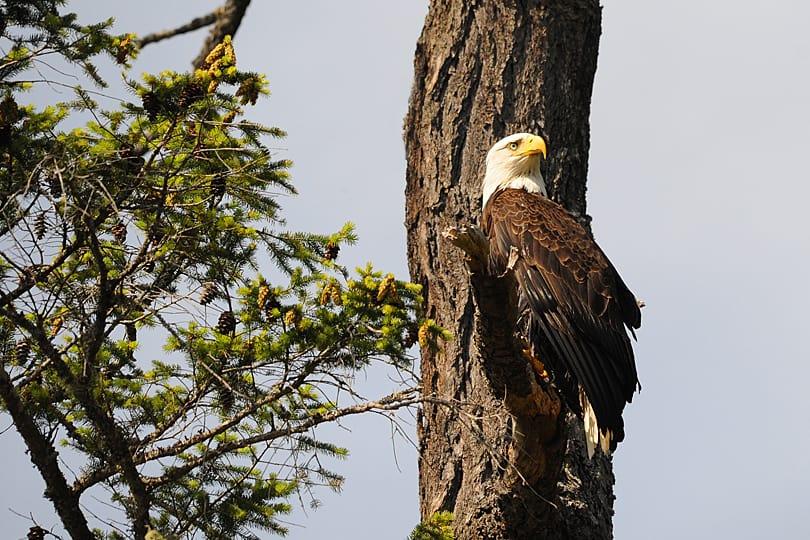 Baldheaded Eagle, British Columbia