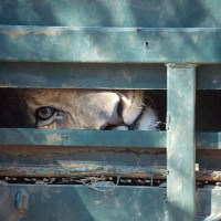 BLOOD LIONS - Call to ban trophy hunting of captive lions