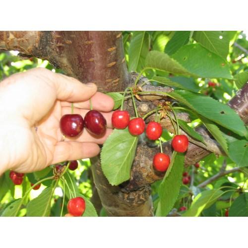 Medium Crop Of Bing Cherry Tree