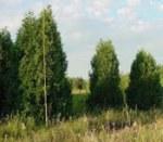 Green Giant Arborvitae Thuja Plicata X Standishii Green