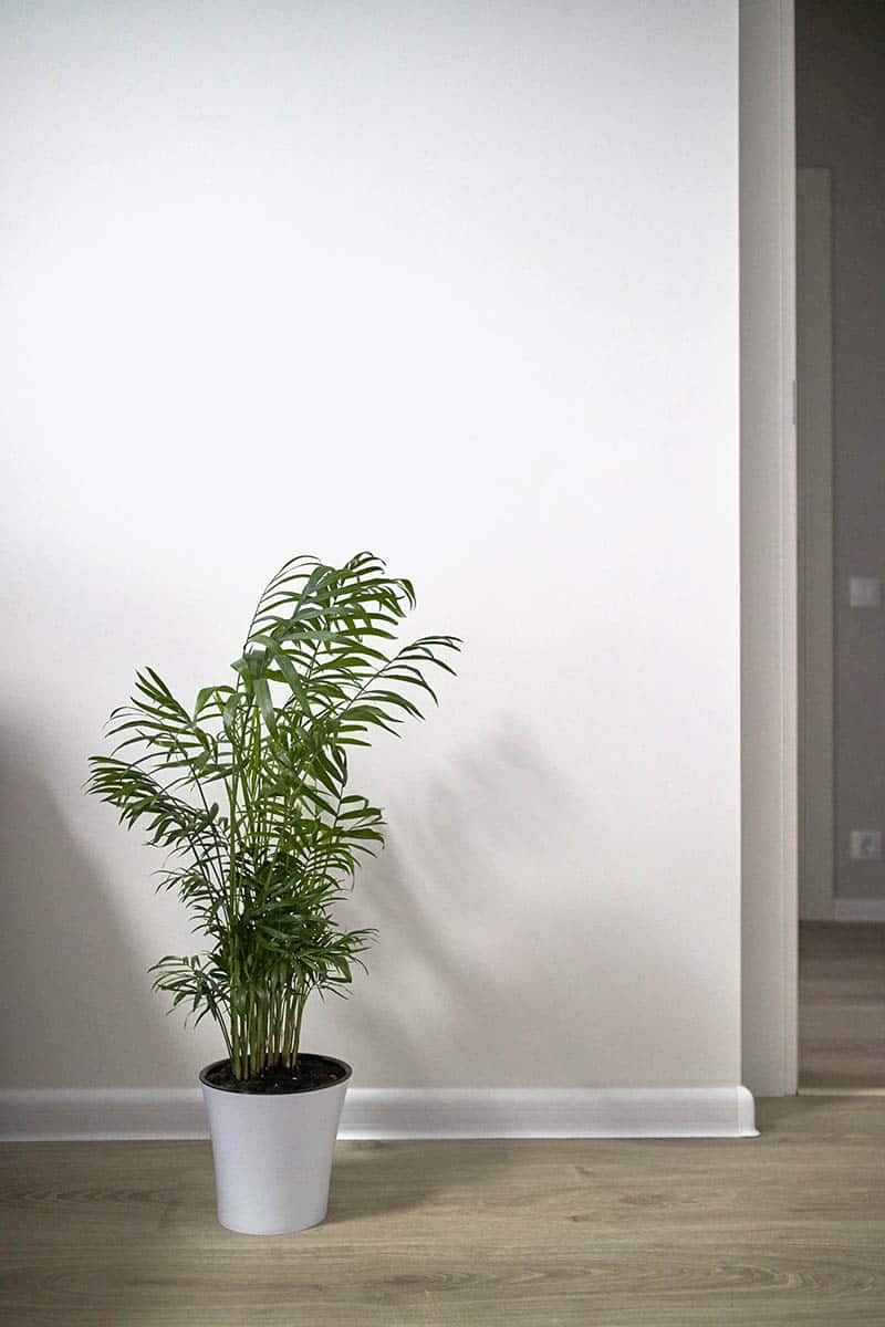 Areca Palm Trees Buying Growing Guide Trees Com