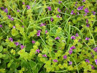 wild purple flowers Kas plateau
