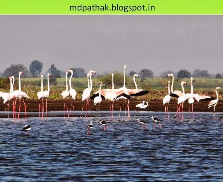 Flamingos Bhigwan