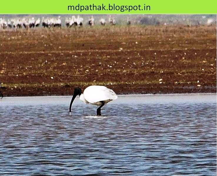 bhigwan bird watching black