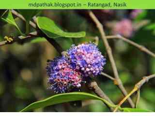 wild flowers fort Ratangad