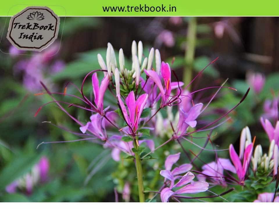 wild flowers at prabalgad