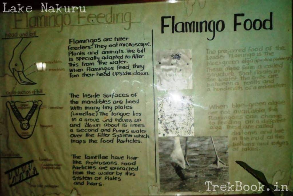 flamingo food algae in lake information