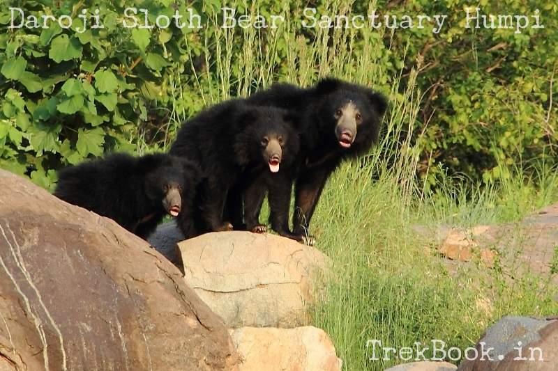 Bear School at Daroji Sloth Bear Sanctuary Humpi