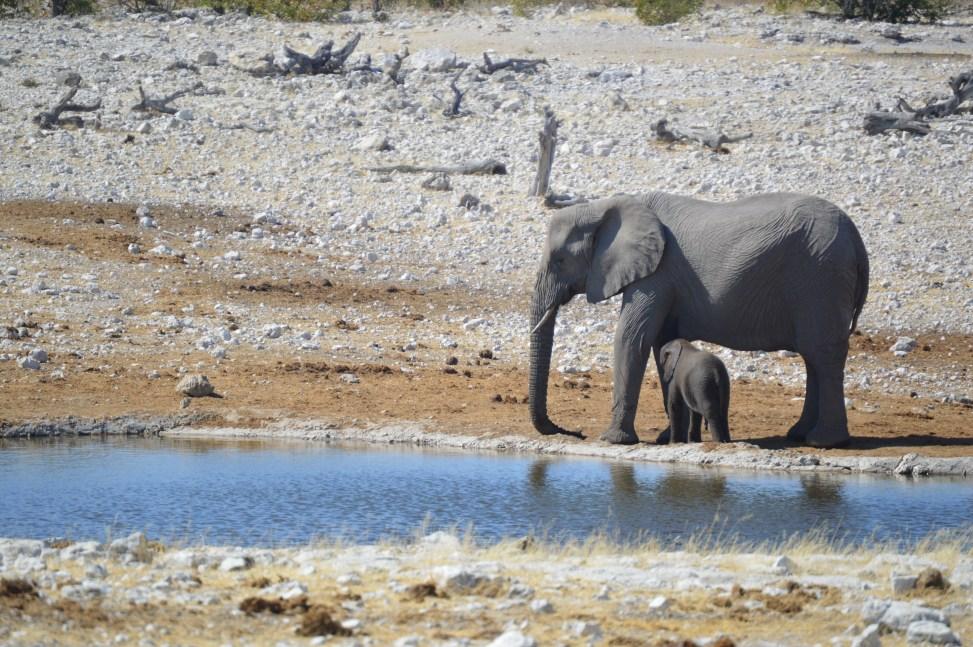 elephant_nursing