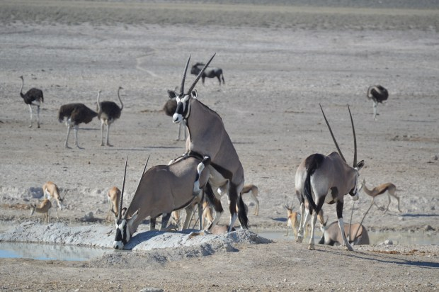 oryx_mating
