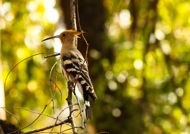 A Hoopoe (Upupa epops) sits perched on a branch