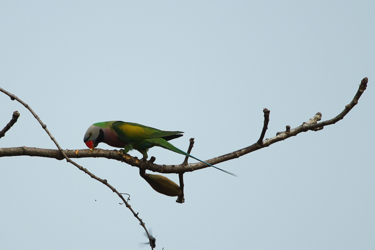 This Red-Breasted Parakeet was feasting in the trees
