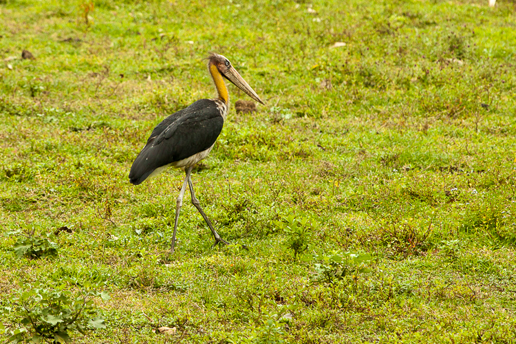 A Lesser Adjutant Stork walks through the grasslands