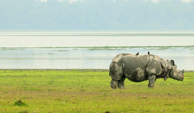 In search of the Great Indian Rhinoceros