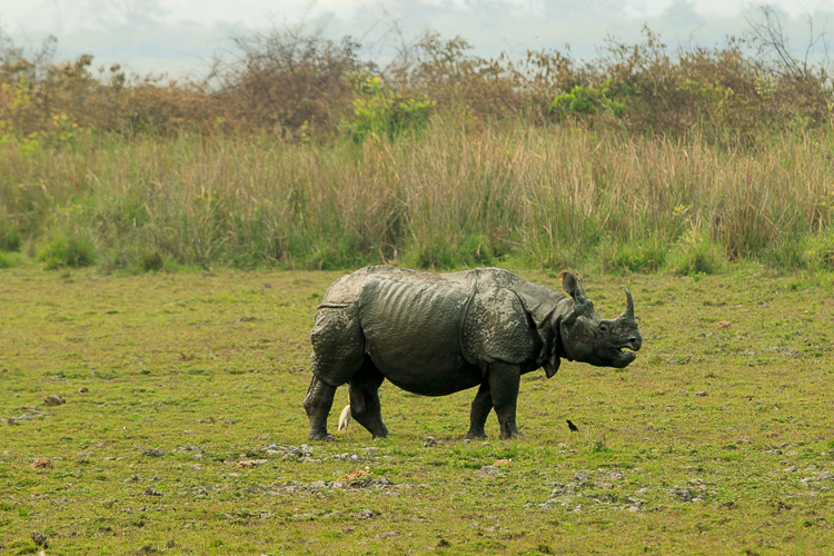 This is a fine specimen of the Great Indian One-horned Rhinoceros