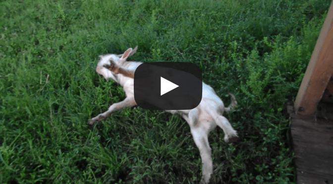 Fall Pattern Wallpaper Fainting Goats Video