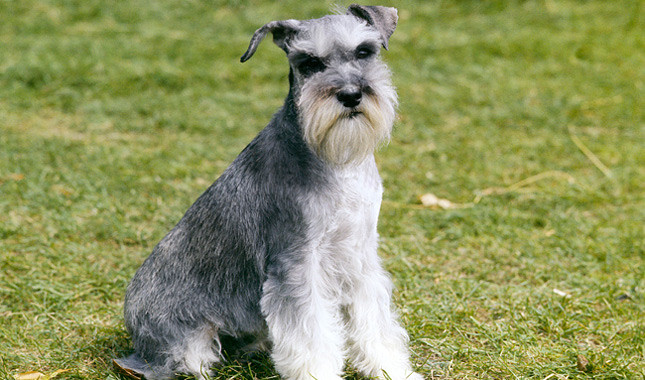 schnauzers for Aries