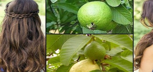 Did you know that Guava and Its Leaf can cure many ailments and keep you healthy?