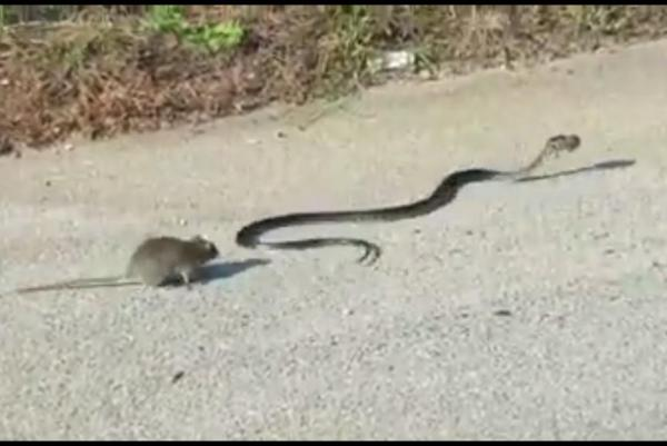 Rat snake fight
