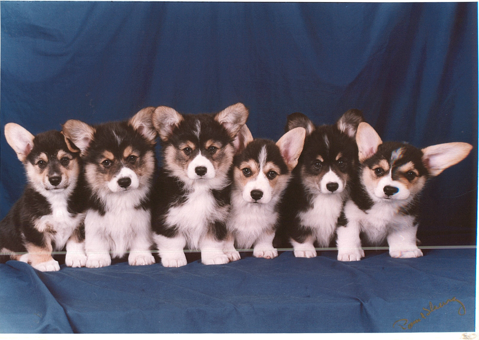 Cute Corgi Puppies Wallpaper Tresaith Kennels