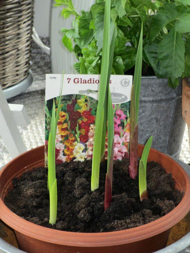 gladiol
