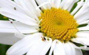 Flue på prestekrage