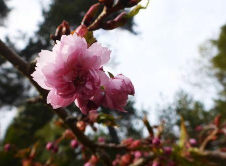 japankirsebær